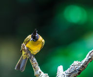 Black-crested Bulbul or Pycnonotus flaviventris bird Stock Images
