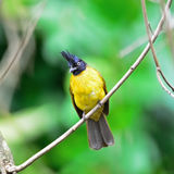 Black-crested Bulbul Stock Photos
