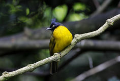 Black-crested Bulbul Pycnonotus flaviventris Royalty Free Stock Image