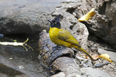 Black-crested Bulbul Pycnonotus flaviventris Birds of Thailand Stock Images
