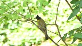 Black-crested Bulbul bird in tropical rain forest. Black-crested Bulbul Pycnonotus flaviventris on branch in tropical rain forest stock video footage