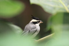 Black-crested finch Stock Image