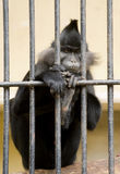 Black-crested Mangabey Stock Photo