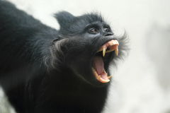 Black crested mangabey Royalty Free Stock Image