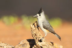 Black-crested Titmouse - Texas Royalty Free Stock Images