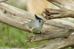 Black-crested Titmouse Royalty Free Stock Photo