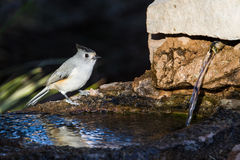 Black Crested Titmouse Stock Photography
