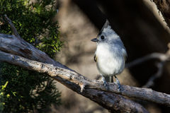 Black Crested Titmouse Royalty Free Stock Image