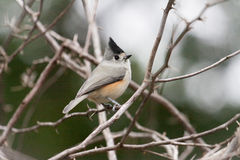 Black-crested Titmouse Stock Images
