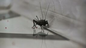 Black cricket close-up on a light gray background stock footage