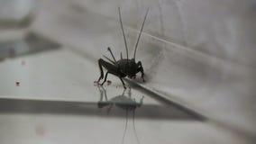 Black cricket close-up on a light gray background