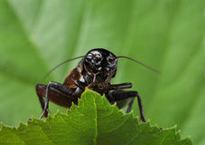 Black cricket on leaf. Royalty Free Stock Photos