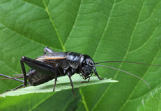Black cricket on leaf. Stock Photo