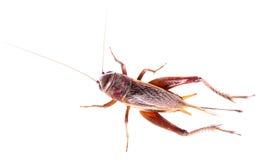 Black cricket on white background Royalty Free Stock Images