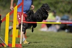 Black Croatian Sheepdog on agility course Stock Photo