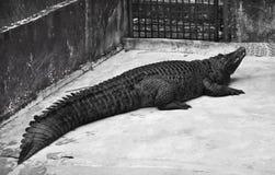 Black Crocodile Stock Image