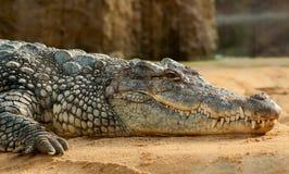 Black Crocodlie Lying on Ground Stock Photography