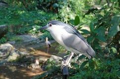 Black-cronwed night heron Stock Images