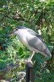 Black-cronwed night heron Royalty Free Stock Images