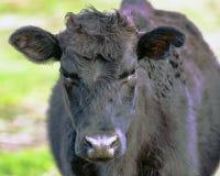 Black crossbred heifer Stock Images