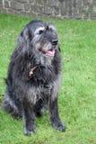 Black crossbreed  dog Royalty Free Stock Photos