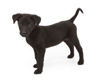 Black Crossbreed Puppy Standing To Side Stock Images