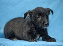 Black crossbreed terrier puppy Stock Photo