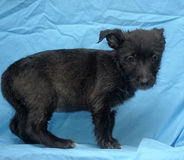 Black crossbreed terrier puppy Stock Image