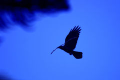 Black Crow Royalty Free Stock Photography