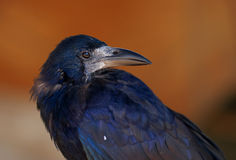 Black crow. Close portrait of black crow Royalty Free Stock Photo