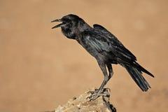 Black crow Stock Photography