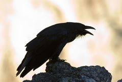 Black crow. Silhouette on cliffs edge Royalty Free Stock Photos
