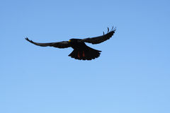 A black crow. Flies at the blue sky Royalty Free Stock Images