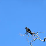 Black Crow. Perched on a gnarled tree Royalty Free Stock Photo