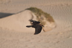 Black Crow. A Birds Eye View of a Gliding Crow Over a Sand Desert Royalty Free Stock Image