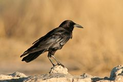 Black crow Stock Photos