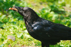Black crow. With prey in beak Stock Photography
