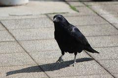 Black crow Royalty Free Stock Photos