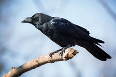 Black crow. Beautiful black crow sitting on the branch stock image