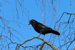 Black Crow Bird Royalty Free Stock Photos