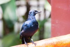 Black crow bird isolated in a park. During day stock images