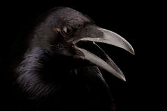 Black crow in black Royalty Free Stock Images