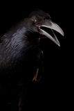 Black crow in black Royalty Free Stock Photography