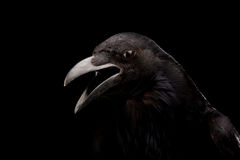 Black crow in black. Black crow shoot in studio, black background royalty free stock photos