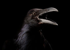 Black crow in black Royalty Free Stock Image