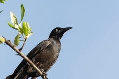 Black crow and blue sky Stock Photos
