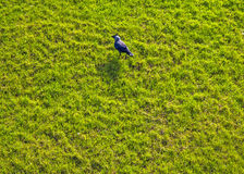 Black crow on the bright green grass Royalty Free Stock Image
