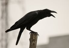 Black crow cawing. black bird preaching on a stick ,isolated in the city background stock photos