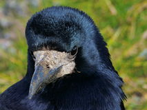 Black Crow Close Up. With green grass background Royalty Free Stock Photography