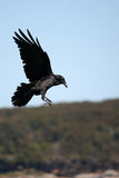 Black Crow coming in to land. Black Crow with wings spread, approaching landing Stock Photography